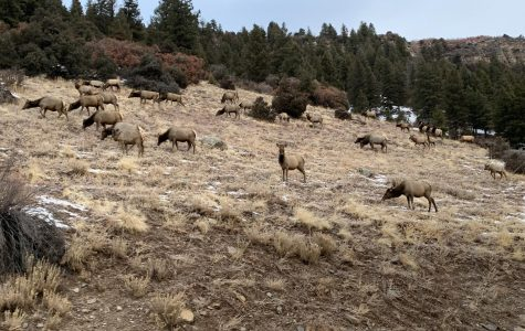 The Elk Are Back in Town